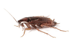 Disease Carrying Cockroaches