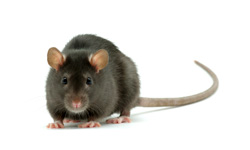 Damaging Rats