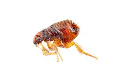 Biting Fleas