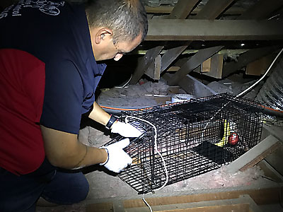 Possum Trap in Roof