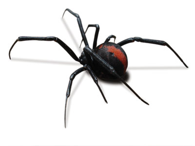 Redback Spider Female