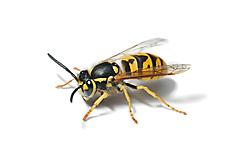Dangerous Wasps